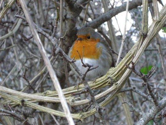 my little robin