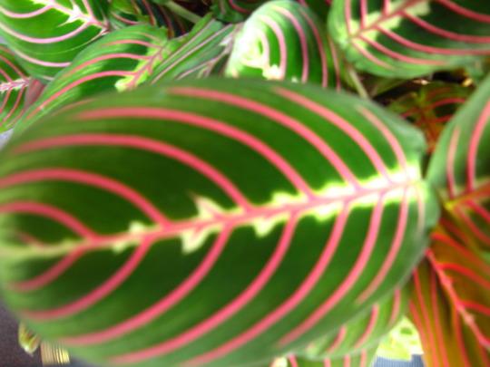 Prayer plant (Maranta leuconeura (herringbone plant))