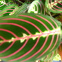 Prayer plant (Maranta leuconeura (herringbone plant))