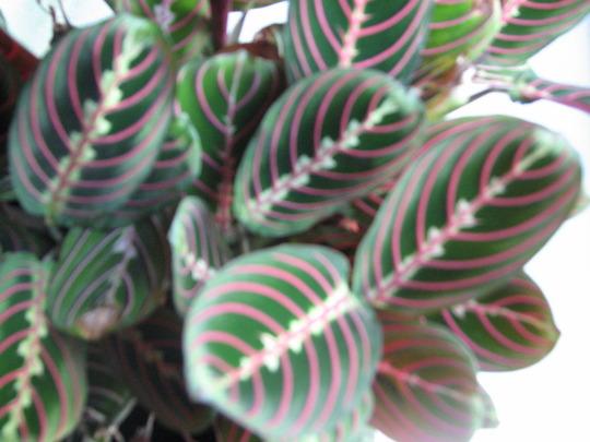 Maranta (herringbone plant/prayer plant (Maranta leuconeura (Herringbone Plant))