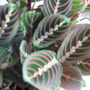 Maranta (herringbone plant/prayer plant (Maranta leuconeura (Herringbone Plant))