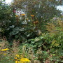 the herbaceous border in my garden(1)
