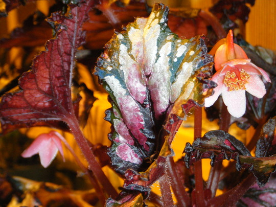 Female Flower on Rex Begonia