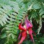 clianthus puniceus rubra