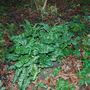 Arum italicum marmoratum (pictum)