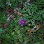 Centaurea delbata or montana