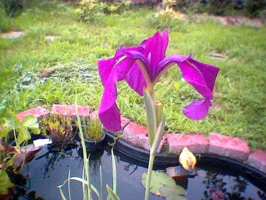 A garden flower photo (Iris sibirica (Siberian iris))