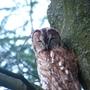 Owl_00911