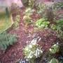 White Campanula (Campanula carpatica (Bellflower))