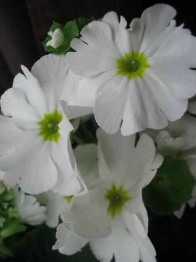 White Primula (Primula Obconica)