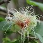 Australian native  (Planchonia careya)