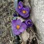 Crocus by rock(last spring) (Crocus vernus)
