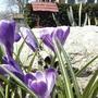 Crocus vernus (last spring) (Crocus vernus)