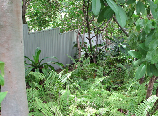 Down the driveway (Nephrolepis biserrata)