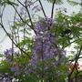 Jacaranda acutifolia (Purple Jacaranda)