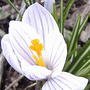 So hardy, yet so exquisitely delicate!(from last spring) (Crocus vernus)