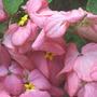 Mussaenda - Bangkok Rose (Mussaenda philippica 'Bangkok Rose')