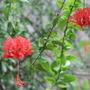 Hibiscus - Japanese Lantern (Hibiscus schizopetalus (Japanese Lantern or Skeleton Hibiscus))