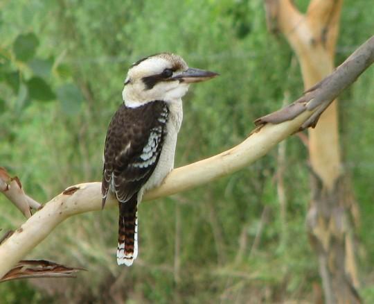 Kookaburra - a larger kingfisher
