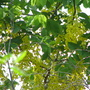 Golden Showers (Cassia fistula (Golden shower tree))