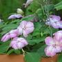 Impatiens - in the greenhouse (Impatiens walleriana (Busy Lizzie))