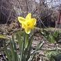 Daffodil (last spring) (Narcissus pseudonarcissus)