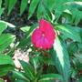 Impatiens - New Guinea (Impatiens walleriana (Busy Lizzie))