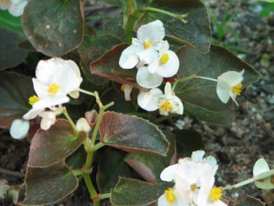 Wax Begonia (Begonia semperflorens-cultorum)