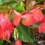 Dragon Wing Begonia - Begonia x hybrida (Begonia x tuberhybrida 'Dragon Wings')