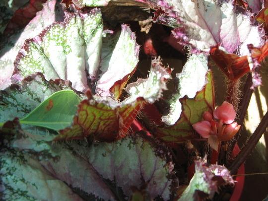 Rex Begonia (Rex Begonia)