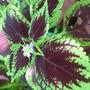 Coleus - in the greenhouse