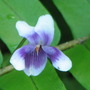 Native violet - in the greenhouse (Viola hederacea)