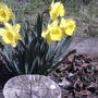 Sunshine in the yard.(from last spring) (Narcissus pseudonarcissus)