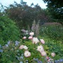 my herbaceous border (2)
