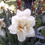 This is a double white daffodil.(last spring) (Narcissus Acropolis)