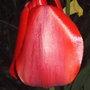 red tulip(last spring) (Tulipa triumph 'Red Revival')