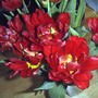 Double red tulips(last spring) (Tulipa triumph 'Red Revival')