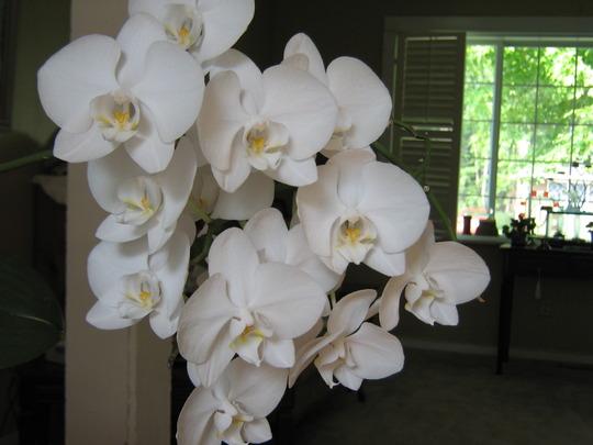 My white Phalaenopsis (Orchid Phalaenopsis)