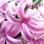 Pink hyacinth (Hyacinthus orientalis)