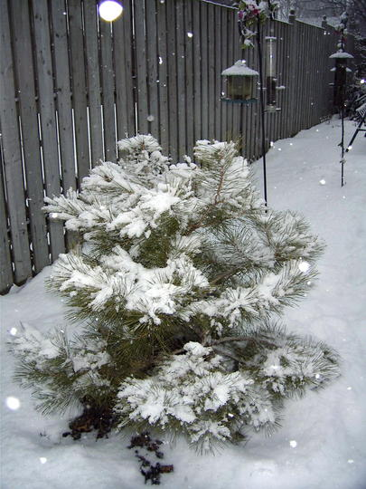 Little red pine (Pinus resinosa)