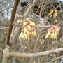 Chimonanthus praecox (Chimonanthus praecox (Wintersweet))