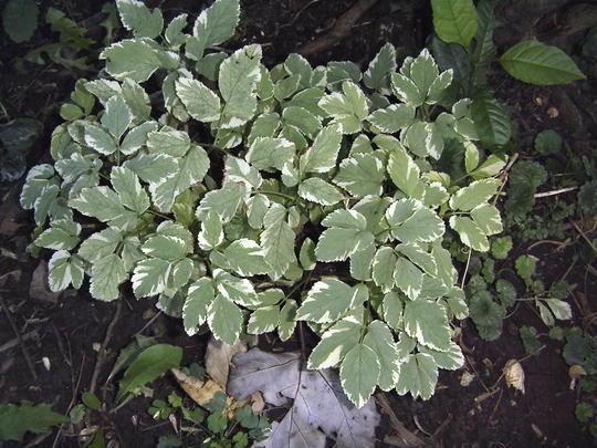 Goutweed, Bishop's foot  (Aegopodium podagraria)
