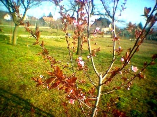 image_00516.jpg (Prunus spinosa Purpurea)