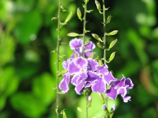 Duranta flower (Duranta repens)