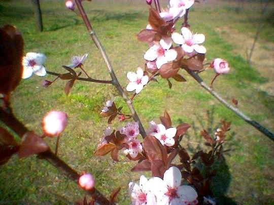 image_00528.jpg (Prunus spinosa Purpurea)
