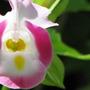 Torenia fournieri (Wishbone Flower Duchess Mixed)