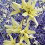 Forsythia (previous spring) (Forsythia)