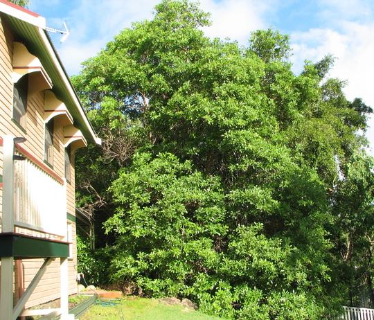 Tabebuia heterophylla - Pink Trumpet Tree (Tabebuia heterophylla)