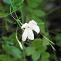 Is this jasmine? (Jasminum officinale 'Grandiflorum')