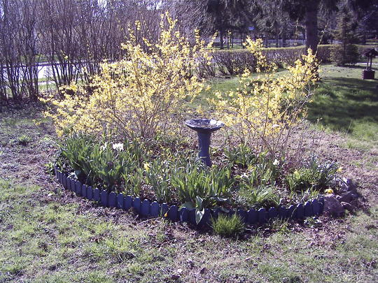 Forsythia (early one spring) (Forsythia)